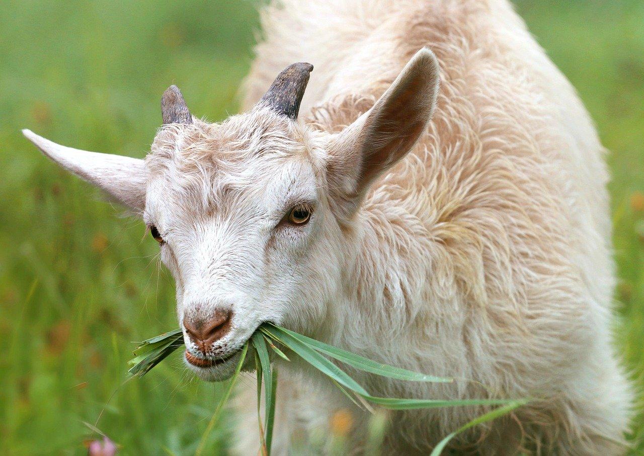Savon au lait de chèvre bio