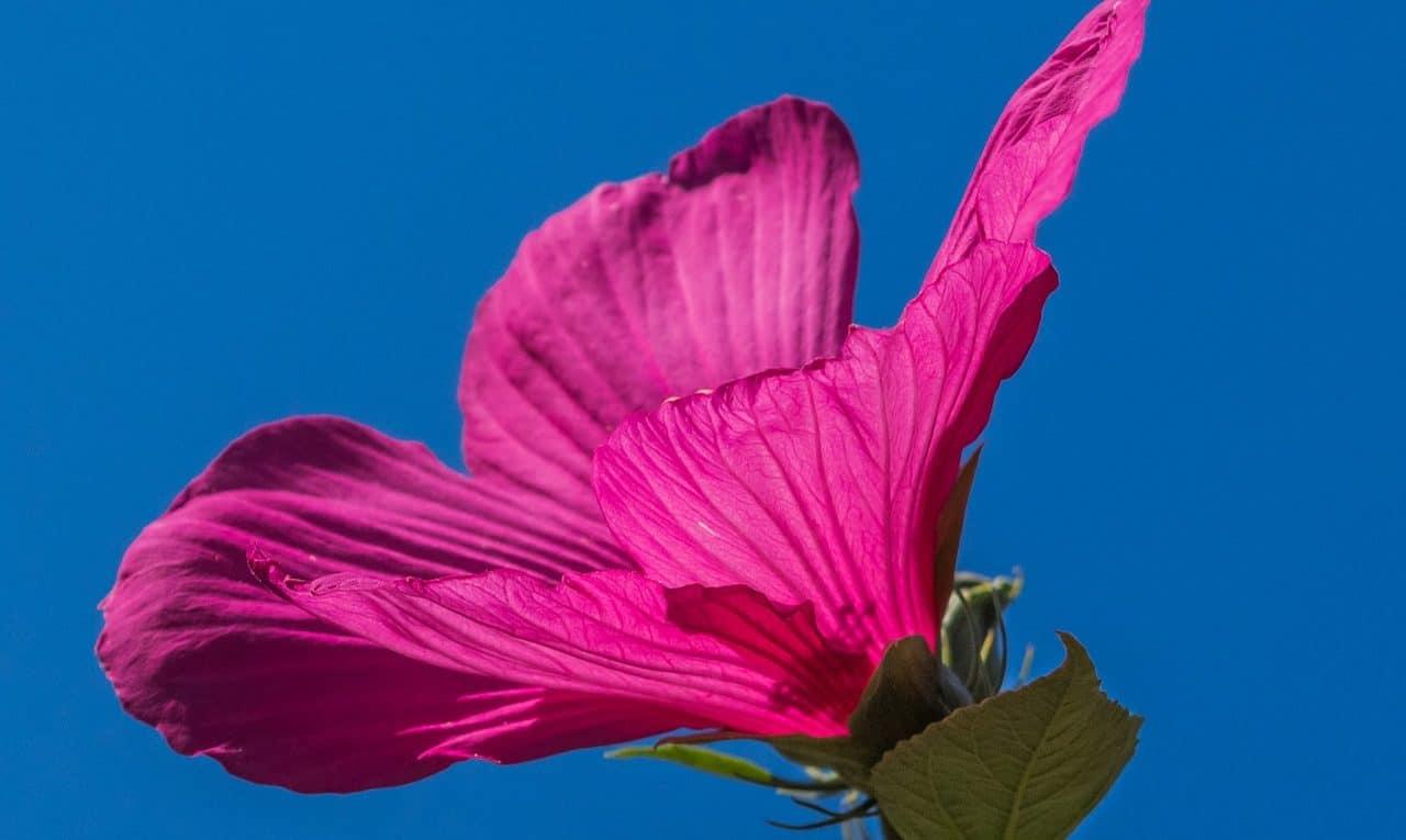 Hibiscus : vertus