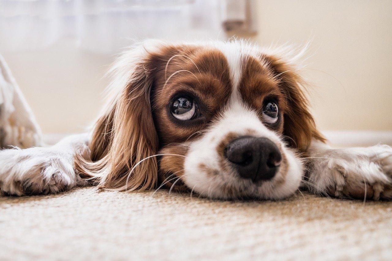 Comprimé anti puce et tique pour chien vétérinaire